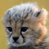 Savanna_Kitten